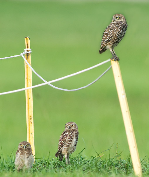 Adult Burrowing Owls with juvenile
