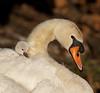 Mute Swain - Chicks in the nest