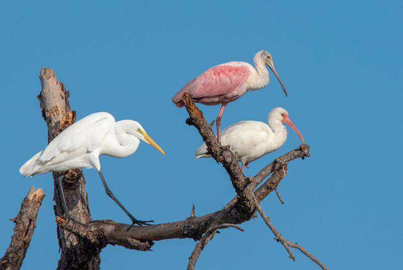 Great Egret, Roseate Spoonbill, White Ibis