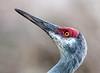 • Location - Viera Wetlands<br /> • Close-up of a Sandhill Crane
