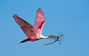 •Location - Stick Marsh<br /> • Roseate Spoonbill in flight with nesting material