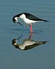 Viera Wetlands - Blacked-necked Stilt