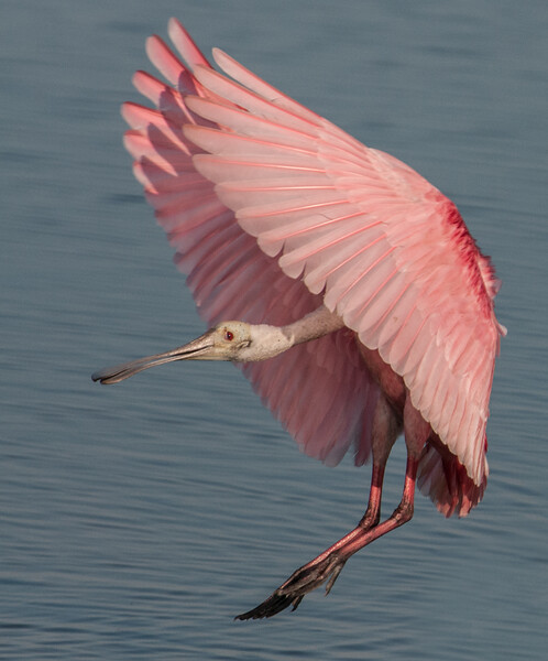 • Adult Roseate Spoonbills<br /> •She putting on its breaks