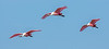 * Location - Black Point Drive<br /> • Trio of Roseate Spoonbills in flight