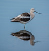 American Avocet with its reflection