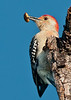 • Male Red-bellied Woodpecker<br /> • See what I have in my beak