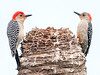 • Location - Viera Wetlands<br /> • The two Red-bellied Woodpecker saids we have to stop meeting like this.