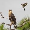 Crested Caracara and Northern Mockingbird - I like to bother you
