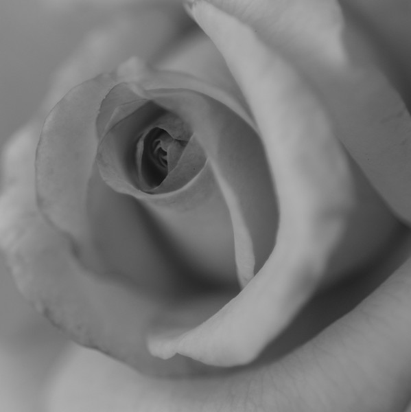 • Location - Leu Gardens<br /> • B&W image of a rose