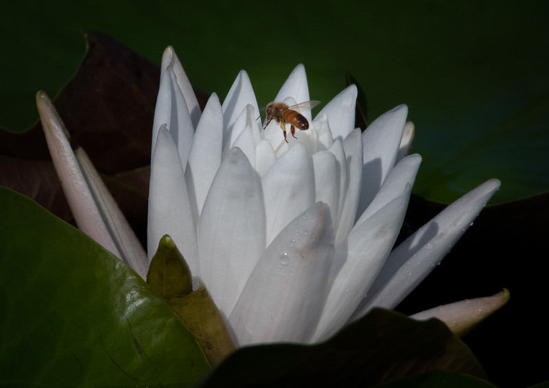 A Water Lily with a Bee flying above it.