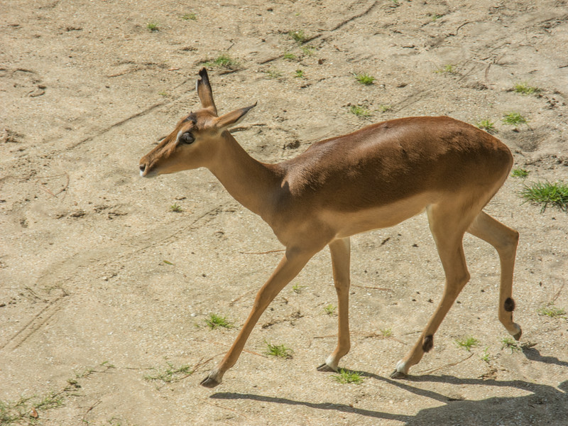 • Location - Brevard Zoo<br /> • Impala