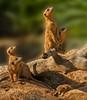 • Location - Brevard Zoo<br /> • Meerkats