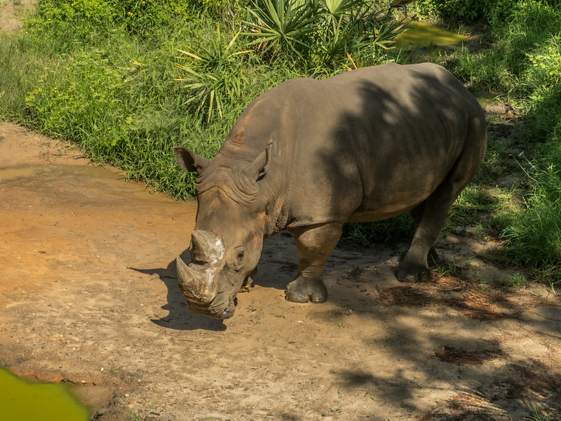 • Location - Brevard Zoo<br /> • White Rhinoceros