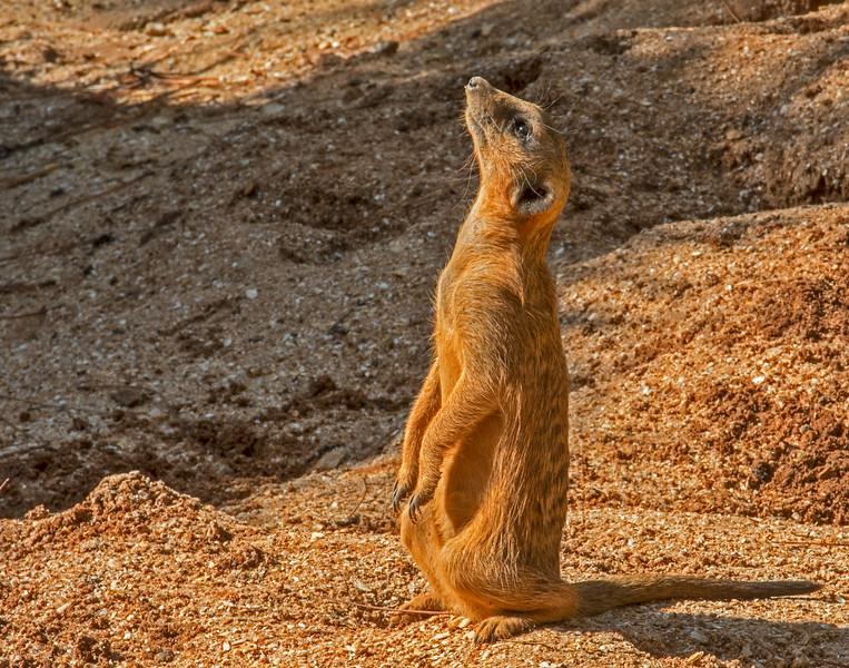 • Location - Brevard Zoo<br /> • Meerkat
