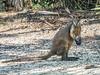 • Location - Brevard Zoo<br /> • Kangaroo