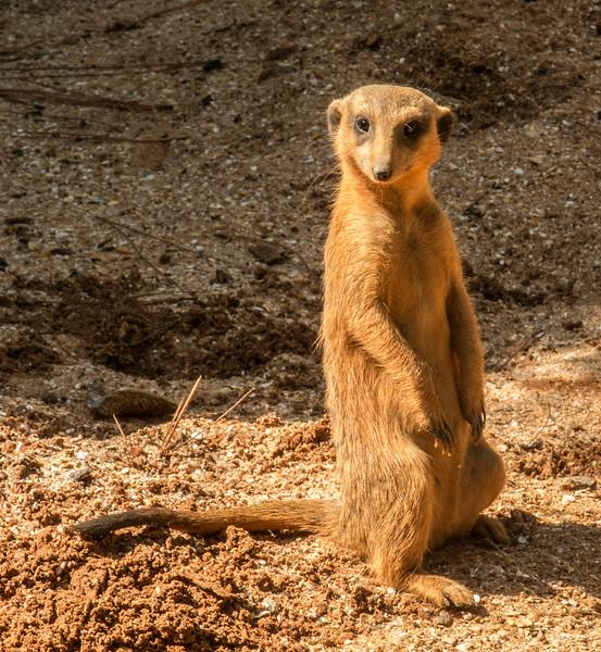 • Location -Brevard Zoo<br /> • Meerkat
