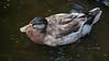 Maile Mallard Duck