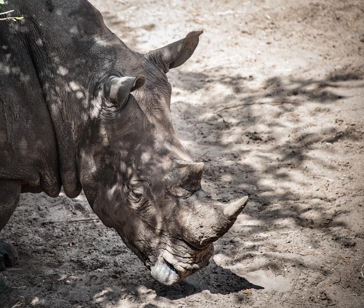 Southern White Rhinoceros