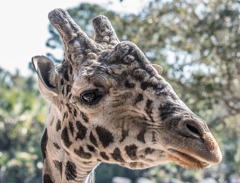 Close-up of the Giraffe