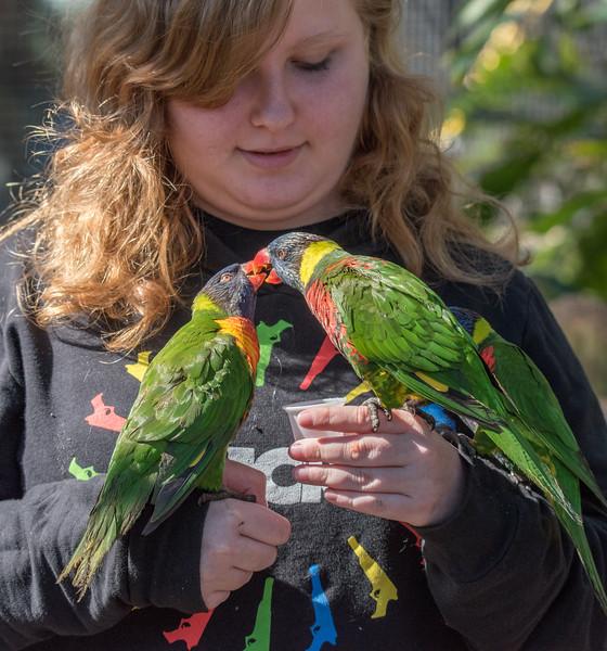 A pair of Lorikeets going beak to beak