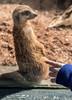 That's a Meerkat