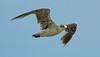 Laughing gulls in flight
