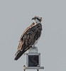 This is a photo of an Osprey on top of a flashing light at the beginning of the jetty.