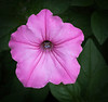 This photo of this Pink Petunia was taken by Arnold Dubin