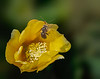 The photo of this Cactus Flower with a Leaf-Cutter Bee was taken by Arnold Dubin