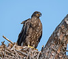 This Eaglet  photo was taken by Arnold Dubin