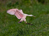 This photo of Juvenile Roseate Spoonbill coming in for landing was taken by Arnold Dubin