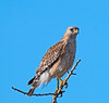 A Red-shouldered Hawk waiting for its mate<br /> <br /> Pick Of The Day