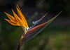This Bird of Paradise photo was taken by Arnold Dubin