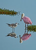 This photo of the Sandwich Tern and Roseate Spoonbill was taken by Arnold Dubin
