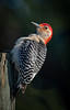 Arnold Dubin took this photo of this Red-bellied Woodpecker