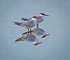 This photo of this pair of Caspian Terns was taken by Arnold Dubin