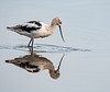 This American Avocet with its reflection  was taken by Arnold Dubin