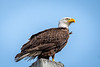 This Bald Eagle photo was taken by Arnold Dubin