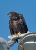 The young Bald Eagle is squawking at its parents to bring it some food.