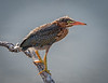 This photo Of this immature Green Heron was taken by Arnold Dubin.
