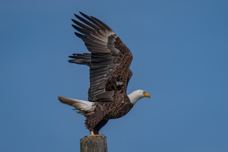 This Bald Eagle is ready for take off