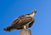 Osprey looking at me taking its photo