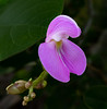 This photo of this Bay Bean flower was taken by Arnold Dubin