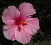 The photo of the Pink Hibiscus with a shadow was taken by Arnold Dubin