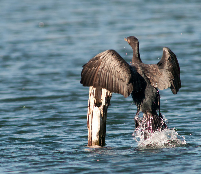 • DeLeon Springs State Park<br /> • Double Crested Cormorant jumping onto the dead branch