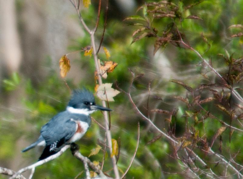 • DeLeon Springs State Park<br /> • Belted Kingfisher