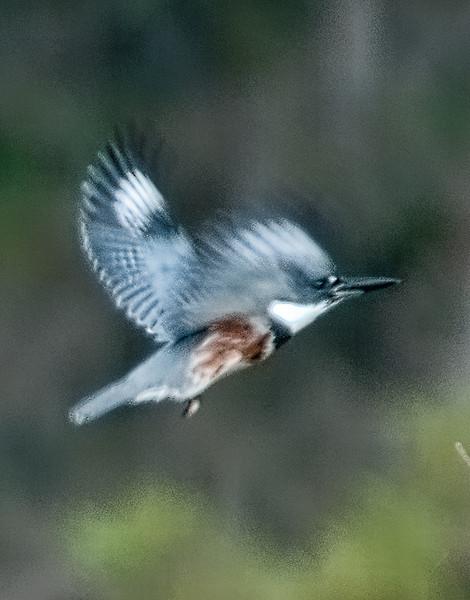 • DeLeon Springs State Park<br /> • Belted Kingfisher in flight