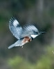 • DeLeon Springs State Park<br /> • Belted Kingfisher in flight