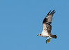 • Lake Woodruff National Wildlife Refuge<br /> • Osprey carrying its catch