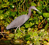 • DeLeon Springs State Park<br /> • Little Blue Heron